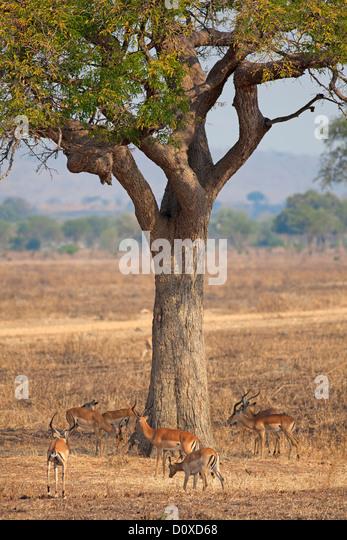 Wild Impala - Stock Image
