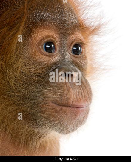 Close-up portrait Baby Sumatran Orangutang, 4 months old, in front of white background, studio shot - Stock-Bilder