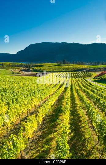 Blue Mountain Vineyard in fall, Okanagan Falls, Okanagan Valley, British Columbia, Canada - Stock Image
