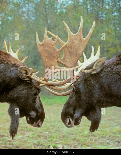 Tk0550, Thomas Kitchin; Moose - Dominance Display.  Autumn Rut. Rocky Mountains. Alces Alces. - Stock Image