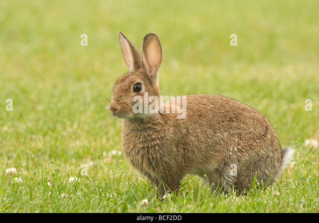 a young alert rabbit - Stock Image