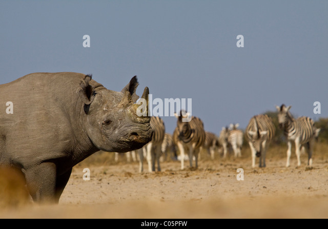 Black Rhino and Zebra, Etosha National Park, Namibia. - Stock Image