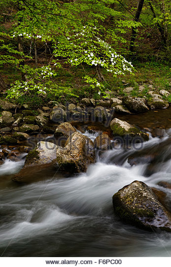 Dogwood tree and mountain stream in Great Smoky mountains National Park - Stock Image