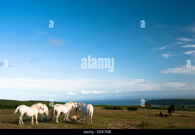 Wild horses on a welsh cliff. - Stock-Bilder