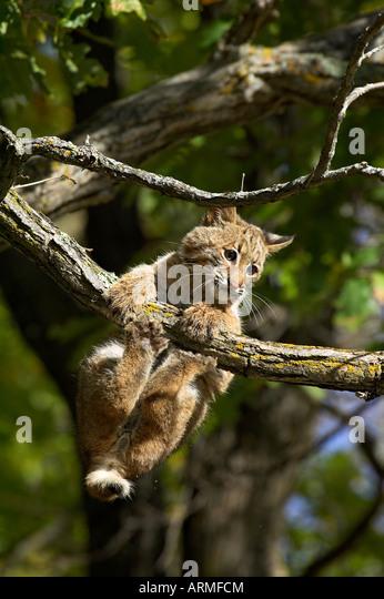 Young bobcat (Lynx rufus) hanging onto a branch, Minnesota Wildlife Connection, Sandstone, Minnesota, USA, North - Stock-Bilder