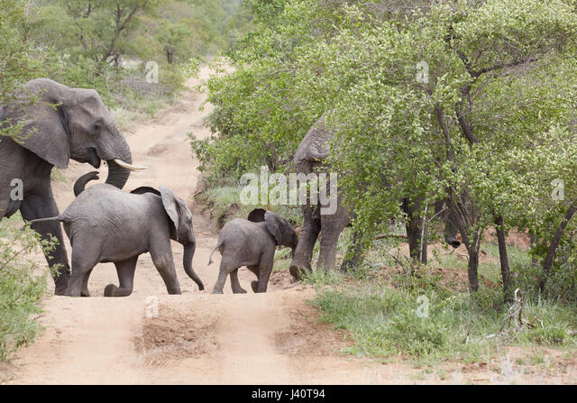 Elephants crossing a track in Krueger National park, South Africa, Africa - Stock Image