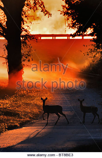 Doe and Fawn White tail Deer Crossing a Country road at sunrise in the backlet fog - Stock Image