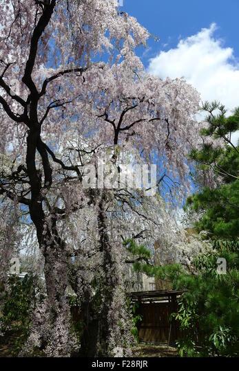 Weeping Cherry at Brooklyn Botanic Garden - Stock Image