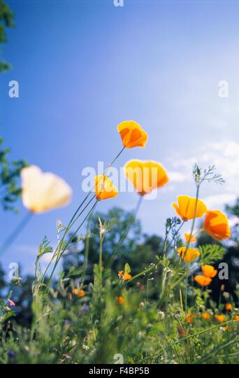 blue clear sky color image flower grass meadow meadow flower nature plants poppy sky summer vertical yellow - Stock-Bilder