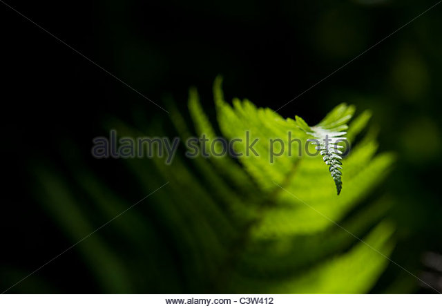 Bracken fern lit up by sunlight against a dark background - Stock-Bilder
