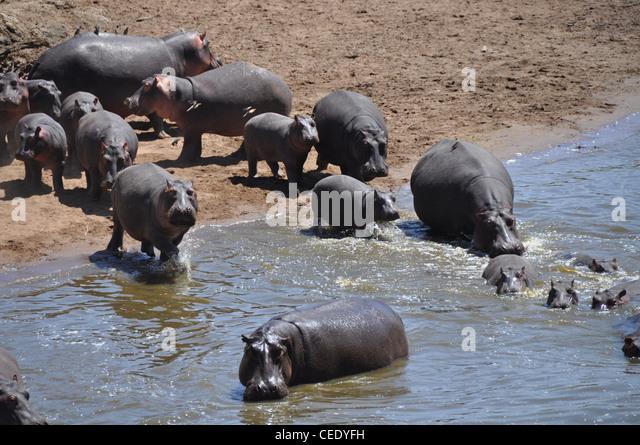 Hippopotamus, Mara river, Savanna, Park Masai Mara, Kenya, Africa - Stock-Bilder