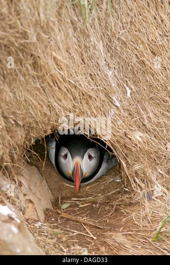 Atlantic Puffin (fratercula arctica) inside Nesting Burrow - Borgarfjorour Marina, Iceland - Stock Image
