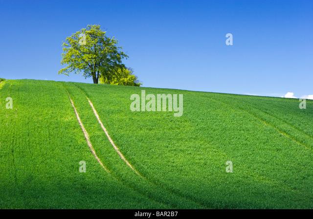 Trees (beeches) on ridge of farm field. Surrey, UK. - Stock Image