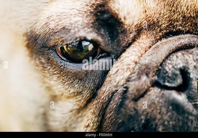 Close Up Eye And Nose Dog French Bulldog - Stock Image