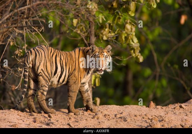 Bengal tiger, (Panthera tigris tigris), Bandhavgarh, Madhya Pradesh, India - Stock Image