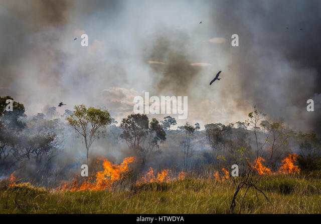 Bush Fire - Black Kite - Northern Territory, Australia - Stock-Bilder