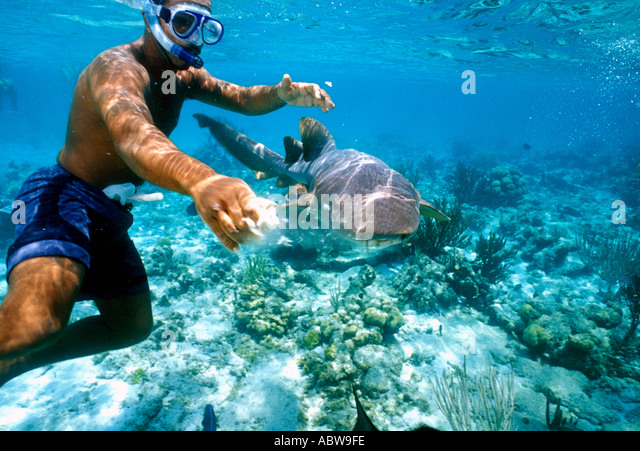 Caribbean Shark Feeding Grand Cayman Island North Sound - Stock Image