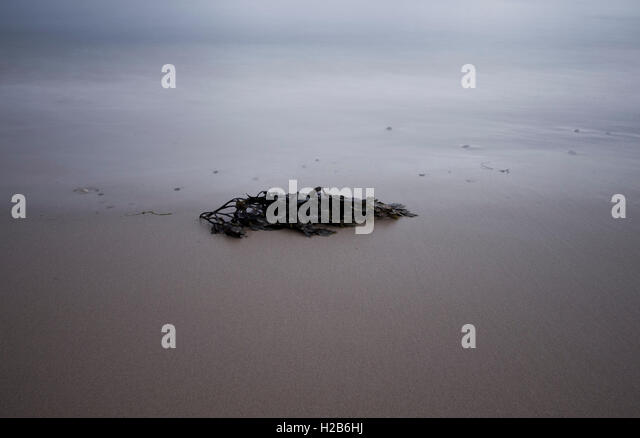 Minimalist seaweed on beach - Stock Image