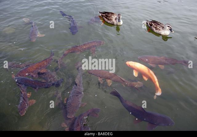Koi carp and ducks in the moat at Matsumoto Castle Japan - Stock-Bilder