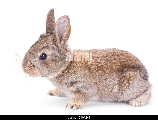 Baby rabbit farm animal closeup on white background - Stock Image