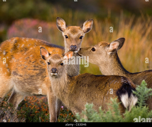 SIKA DEER Cervus nippon A calf is affectionately groomed by its mother and a sub-adultDorset, UK - Stock-Bilder
