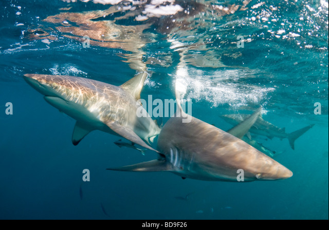 Black tip shark (Carcharhinus limbatus), Aliwal Shoal, South Africa - Stock-Bilder