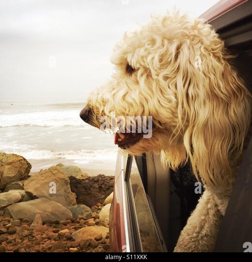 A labradoodle dog sticking it's head out of a cars window at the beach. Ventura, California USA. - Stock Image