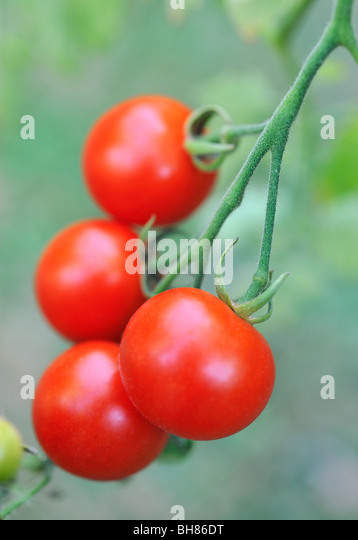 TOMATOES GROWING ON VINE - Stock Image