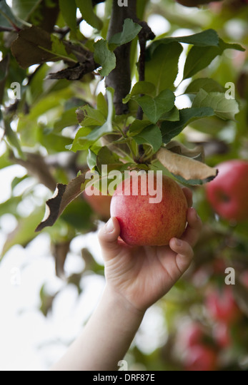 Maryland USA apple tree with red round fruits ready for picking - Stock Image