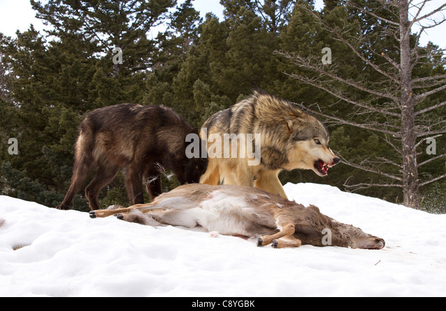 Grey Wolf, Canis lupus feeding with pack members - Stock Image