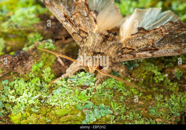 Great prominent (Peridea anceps, Notodonta anceps, Peridea trepida, Notodonta trepida), on a branch with lichens, - Stock Image