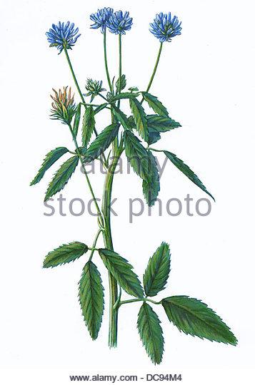 Schabzigerklee trigonella caerulea gewrzpflanze - Stock-Bilder
