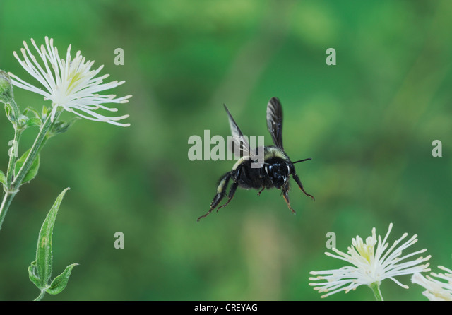 Bumblebee (Bombus sp.), adult in flight among Old man's beard (Clematis drummondii), Dinero, Lake Corpus Christi, - Stock Image