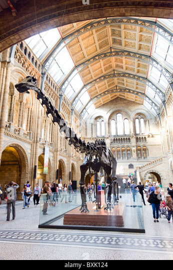 Diplodocus dinosaur at the Natural History Museum, London, England, Britain, UK - Stock Image
