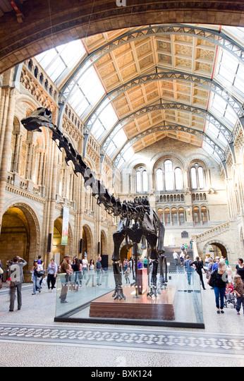 Diplodocus dinosaur at the Natural History Museum, London, England, Britain, UK - Stock Image