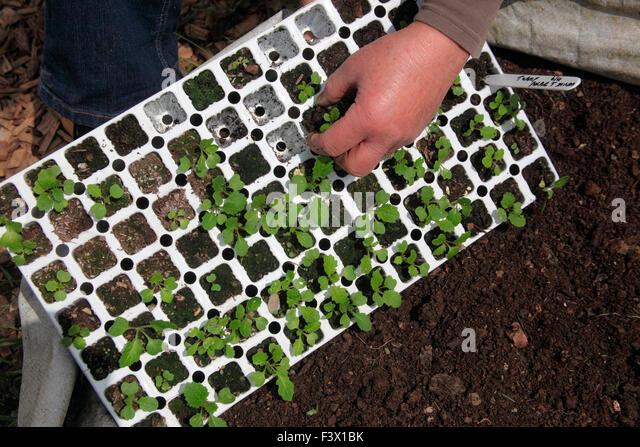 Turnip seedlings growing in module tray - Stock Image