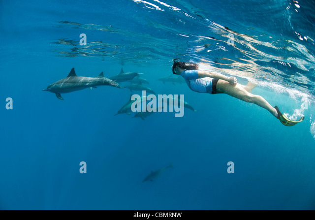 Snorkeling with Spinner Dolphins, Stenella longirostris, Shaab Rumi, Red Sea, Sudan - Stock Image
