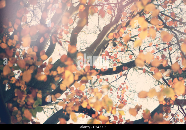 Autumn tree - Stock Image