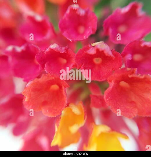Close up of a flower made of multiple flowers - Stock Image