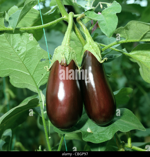 Aubergine fruit maturing in a glasshouse - Stock Image