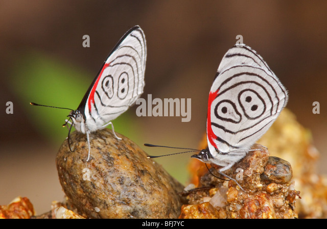 A Butterfly in Podocarpus national Park in southeast Ecuador. - Stock Image