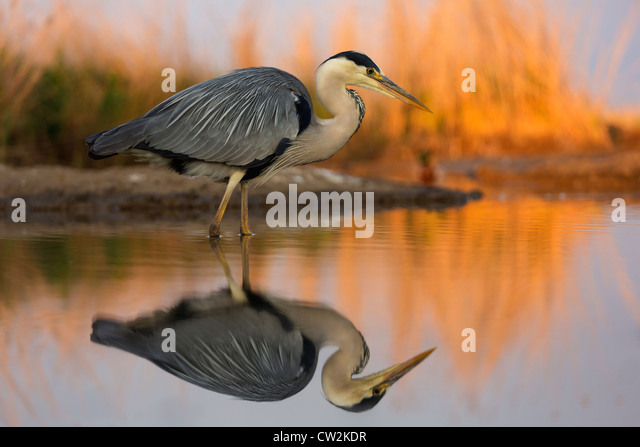Grey Heron(Ardea cinerea) stalking prey.Hungry - Stock-Bilder