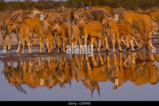 Eland herd at waterhole, Etosha National Park, Namibia. - Stock-Bilder