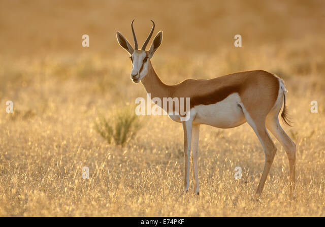 Springbok antelope (Antidorcas marsupialis) at sunrise, Kalahari desert, South Africa - Stock-Bilder