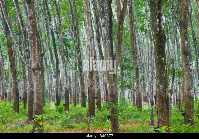 Asia, Malaysia, Langkawi Island, Pulau Langkawi, Ruber tree plantation - Stock Image