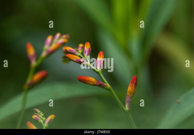 Brilliant vivid orange and yellow Crocosmia Lucifer Montbretia flowers with a green garden background in the sunlight - Stock Image