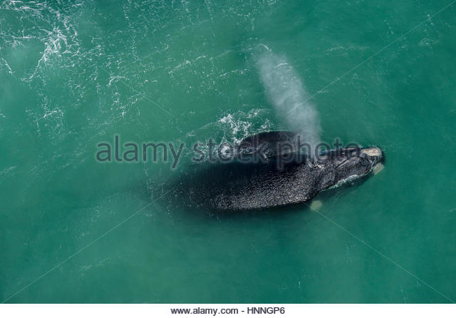 A Southern right whale and calf in mating and calving grounds in the De Hoop Marine Protected Area. - Stock-Bilder