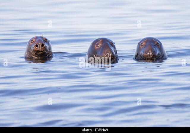 Swimming Common seals - Cape Code peninsula , Atlantic Ocean - Stock-Bilder