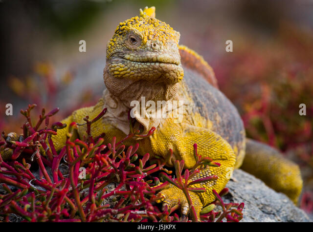 The land iguana sitting on the rocks. The Galapagos Islands. Pacific Ocean. Ecuador. An excellent illustration. - Stock Image
