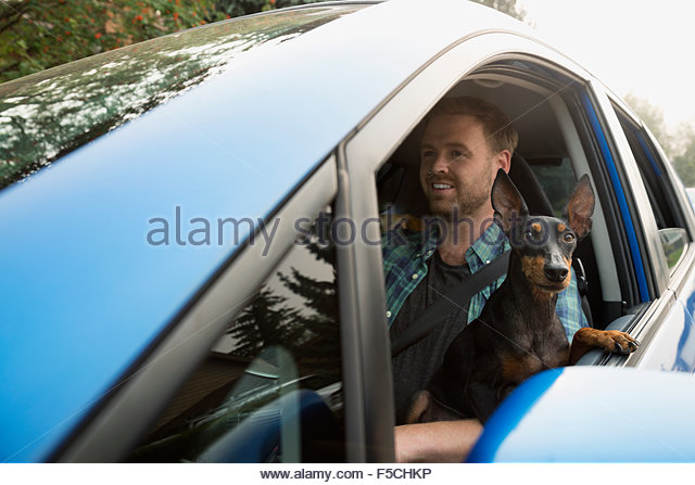 Man driving car with dog lap leaning window - Stock Image